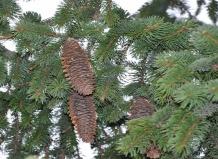 Picea - Ель