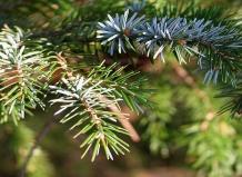 Picea ajanensis - Ель аянская
