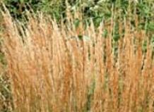 Сlamagrostis - Вейник