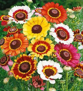 Chrysanthemum carinatum Schousb - Хризантема килеватая