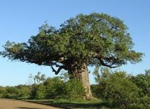 Баобаб африканский - Adansonia digitata