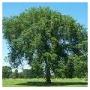 Лиственные деревья
