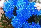 Фото синяя хризантема...