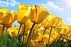 Поле желтых тюльпанов...